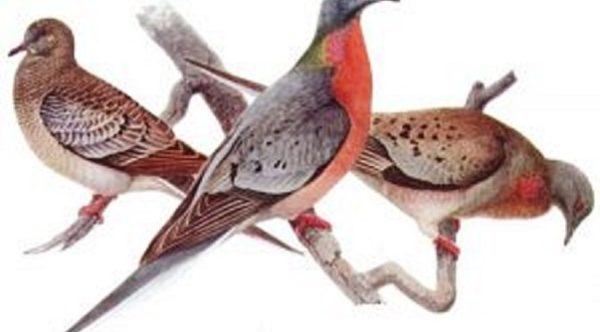 Remade by man: the Passenger Pigeon. Juvenile (left), male (center), and female (right), from 'Birds of New York' (University of the State of New York) 1910-1914. Illustration by Louis Agassiz Fuertes (1874-1927), Public Domain via Patrick Coin on Flickr.