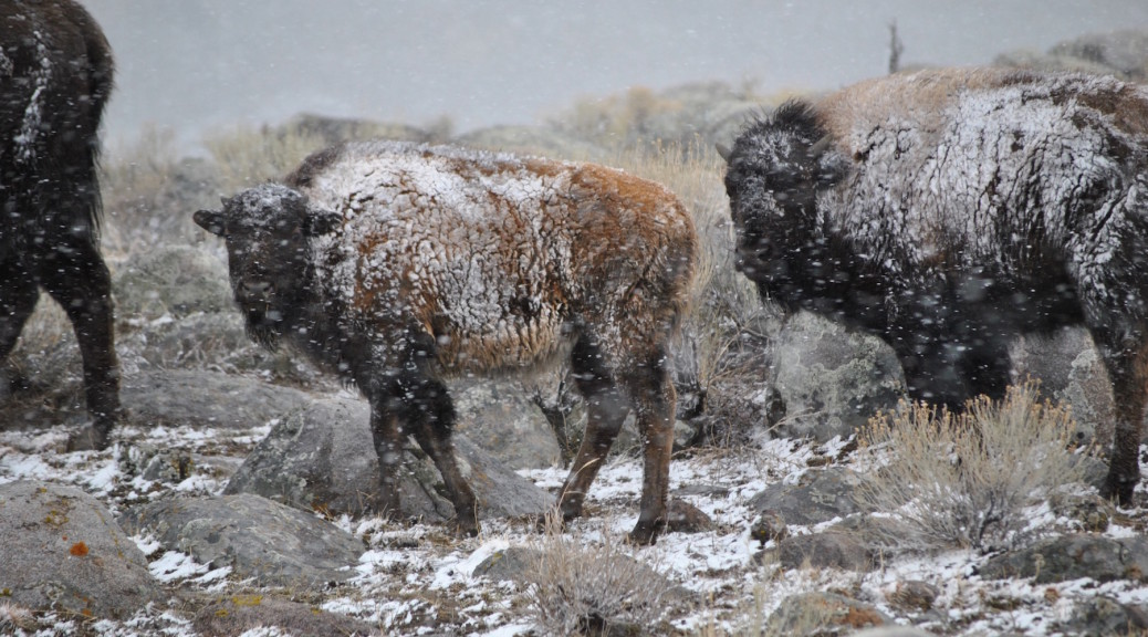 A late-born calf with older sibling move through the snowy landscape.  Photo by Stephany Seay, Buffalo Field Campaign