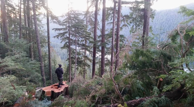 Walbran Valley freshly cut cedar.  Photo courtesy of Walbran Central.
