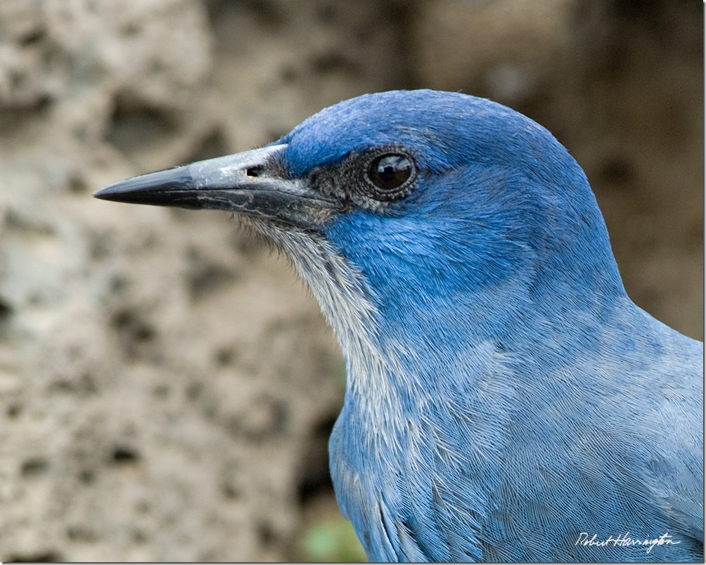 Pinyon Jay. Image by Robert Harrington.