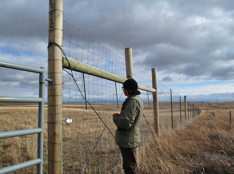 Catcher Cuts the Rope, Gros Ventre (A'aninin), looks into the formidable enclosure where quarantined Yellowstone buffalo now reside on the Ft. Belknap Indian Reservation. Photo by Stephany Seay, Buffalo Field Campaign.