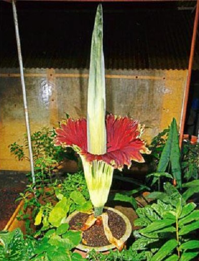 Image: the blooming of the Titan Arum, the world's largest unbranched inflorescence, more than 3 meters in height. Ananda Banerjee, Live Mint